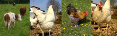 Viel Platz für die Hühner bei Gorzelanys