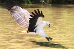 White-bellied Sea Eagle diving for prey, user Mdk572