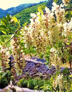 爽やかな甘みが人気のアカシア蜜や、 アカシアの花にリンゴの花、トチノキの花を加えた風味豊かな天然ハチミツを採取しております。