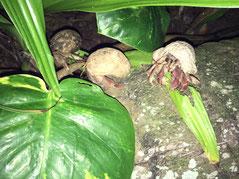 Hermit crabs rarotonga