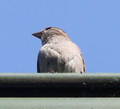5 Spatz auf einem Dach/Sparrow on a wall