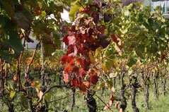 46 Laub vom Wein/Greenery of vine