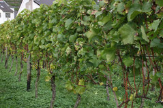 41 Laub vom Wein/Greenery of vine