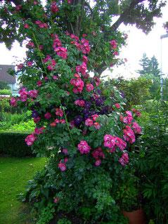 Ramblerrose American Pillar