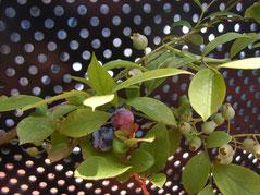 店の前で育てているブルーベリーの苗木のようすもぜひ、ご覧になりにいらしてくださいね!