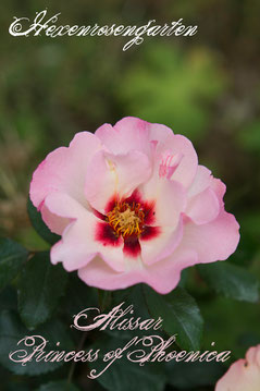 Rosen Hexenrosengarten Strauchrose Harkness Hulthemia Persica Persische Wildrose Alissar Princess of Phoenica