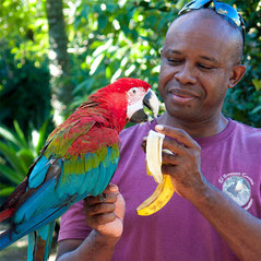 Green-winged macaw. Hand feeding. Wildlife rehabilitation. Conservation. Endangered.