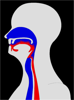 rot: Speiseweg; blau Luftweg