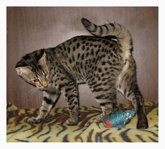 # саванна кошка F2 alt