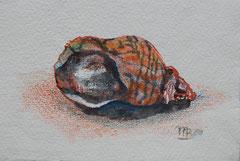 Aquarellzeichnung Wellhornschnecke