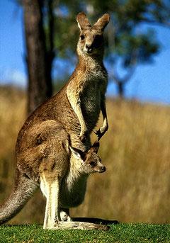 Känguru mit Jungem im Beutel