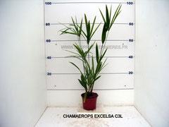 CHAMAEROPS EXCELSA