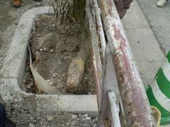 ガードレールに食い込み、根切りされた街路樹