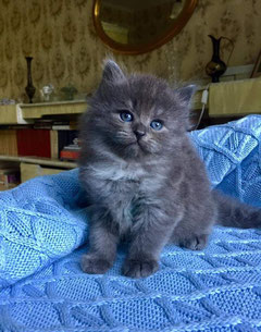 Siberian cat blue smoke