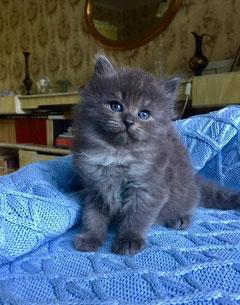 Siberian cat blue smoke