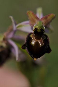 Ophrys de Moris - Corse du Sud (201) - Avril 2010
