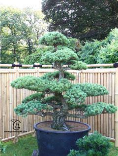 gartenbonsai grueneecke gr neecke garten bonsai. Black Bedroom Furniture Sets. Home Design Ideas