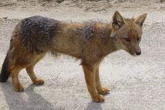 Ein Fuchs hat an uns einen Narren gefressen: Streng bewacht er unser Womo und lässt sich nicht vertreiben.