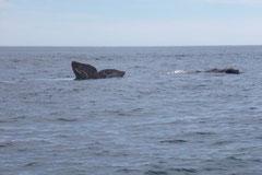 Ein singender Wal in der Bucht Punta Pardelas