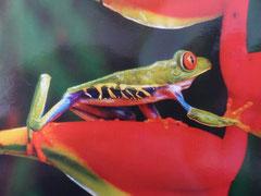 Der Rotaugenfrosch auf  einer Heliconie im Turicentro Zacatecoluca - aufgenommen von Kordula (eine fotographische Meisterleistung)