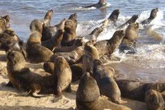 Seelöwen - teils faul, teils stürmisch