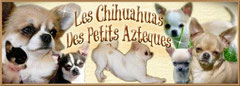 chiot de france chihuahua
