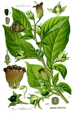 Belladonna Illustration Hömöopathie