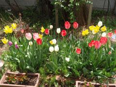 今年も咲いた、チューリップ