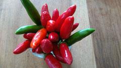 Chili Kusburnu: Mit langen roten Früchten. Foto Bio Gärtnerei  Kirnstötter