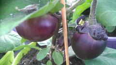 Melanzane Kono: Runde, violette Früchte. Foto Kirnstötter