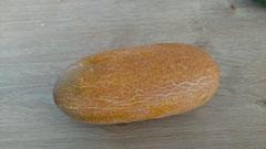 Russische Gurke: Braune, kurze Früchte. Foto Bio Gärtnerei  Kirnstötter