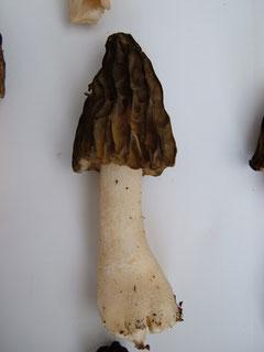 Käppchen Morchel etwas älter