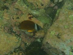 警戒心の強いチョウチョウウオの幼魚 photo:you