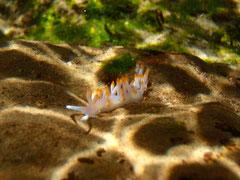 葉山は海の中の小さないのちウミウシのメッカ photo:you