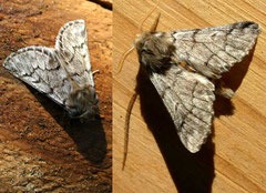 Papillons adultes. ©entomart
