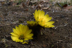 正月に黄色い花