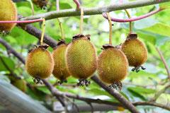 つる性植物 種類