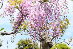 variety Japanese wisteria
