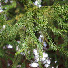 杉の園芸品種