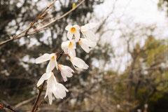 ウチワノキ(2~4月)