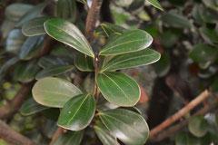 くすのき科の植物