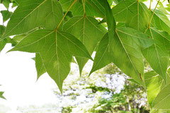 台湾楓とアメリカ楓の違い