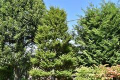 マツ科の木,一覧