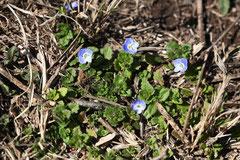 青い花が咲く雑草