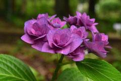 西洋紫陽花 品種