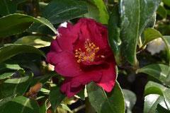 赤い花のカンツバキ 名前