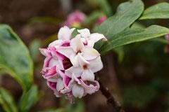 いい匂いの花の木