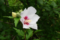 白い花のむくげ