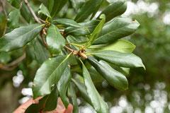 ブナの木の種類
