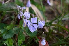 紫の山野草